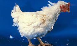 فروش مرغ گرم